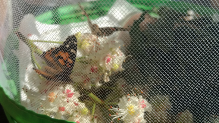 Raupenprojekt-geschlüpfter-Schmetterling.png